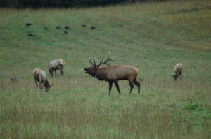 Bugling elk in Cataloochee Valley