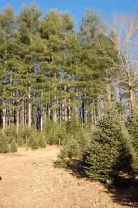 Ziegler Tree Farm, Brevard, NC