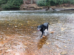 Scout in the Davidson River, one of her happy places.